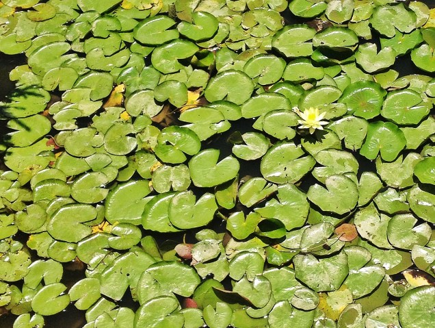 Lily pads at a park in Gympie