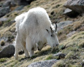 ps-mountain-goat-20x16_200-9927