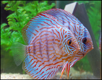 My Breeding Pair of Discus Fish