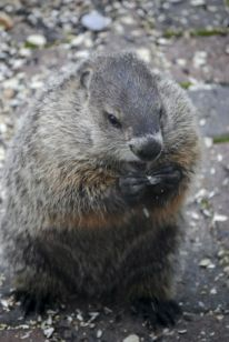 Groundhog Who Thinks He Is A Squirrel