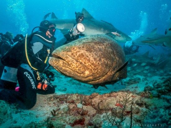 It is tricky to allow the animals to trust you - here is a very curious Goliath Grouper checking us out.