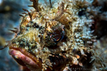 Scorpion Fish - Electric Eyes
