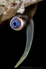 Conch Eye / Strombus