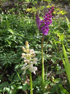 Vill orkide