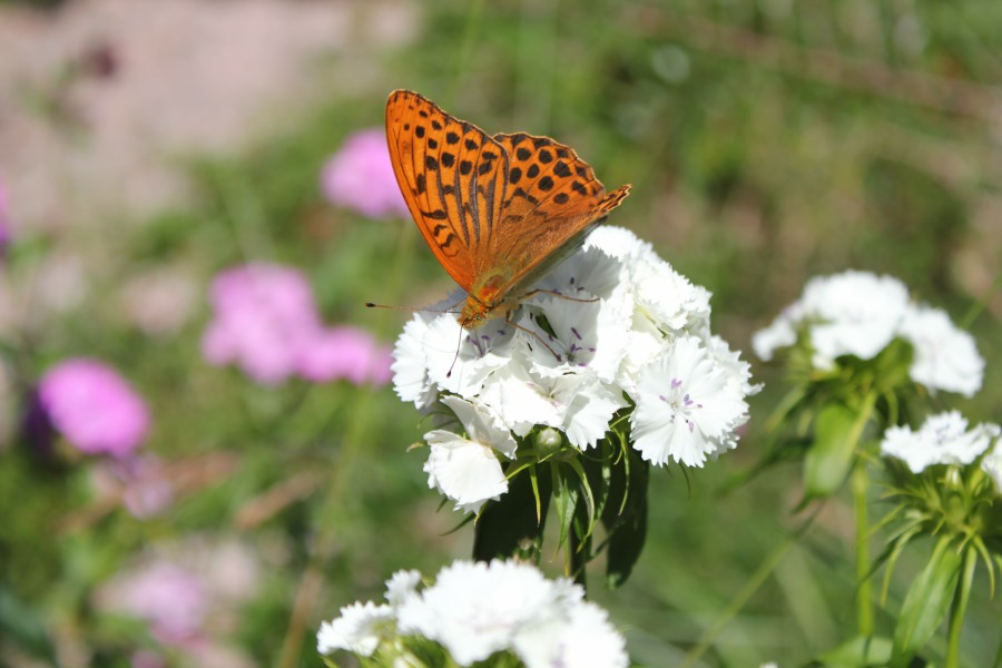 Sommerfugl på busknellik