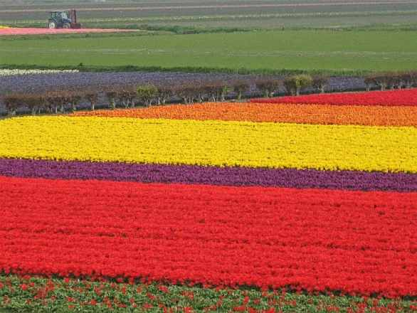 Tulip fields near Keukenhof