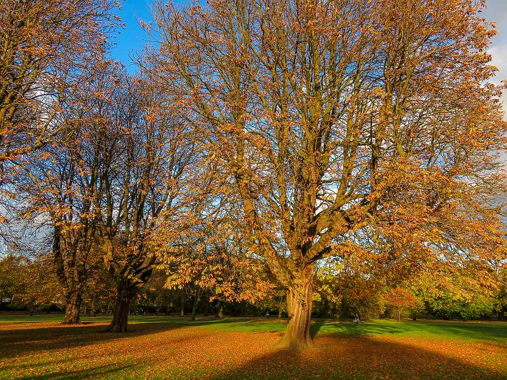 trees in a park with autumn foliage, Hyde Park in London UK