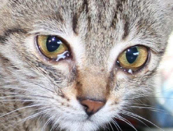 Глисты у кошек аскариды лечение. Аскариды у кошек: причины появления и методы избавления