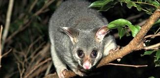 Creating_habitat_for_wildlife_such_as_the_Brushtail_possum