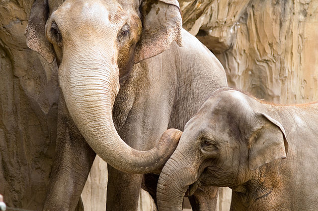 640px-Elephants-OregonZoo