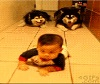 Huskies Crawling with Baby