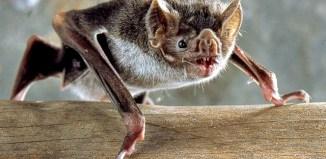 Common_Vampire_Bat_Desmodus_rotundus