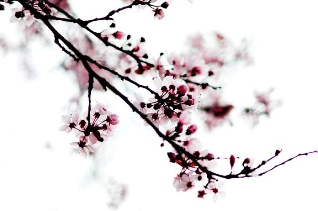 cherry_blossom_002
