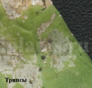Трипс - фото, как опознать вредителя комнатных растений ...