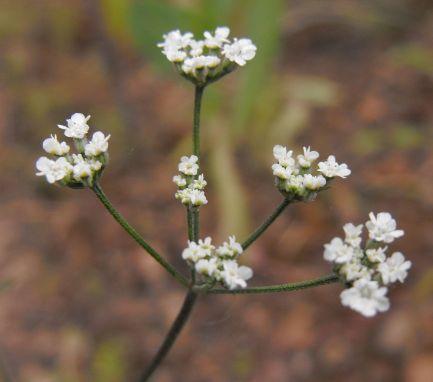 hedge-parsley-2