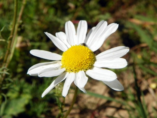 mayweed-chamomile-3
