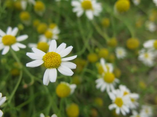 mayweed-chamomile