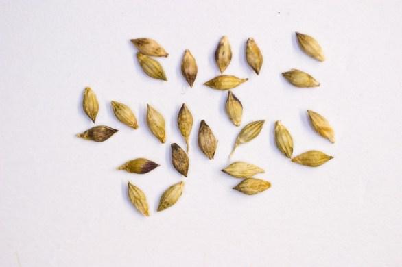 texas-panicum-seeds