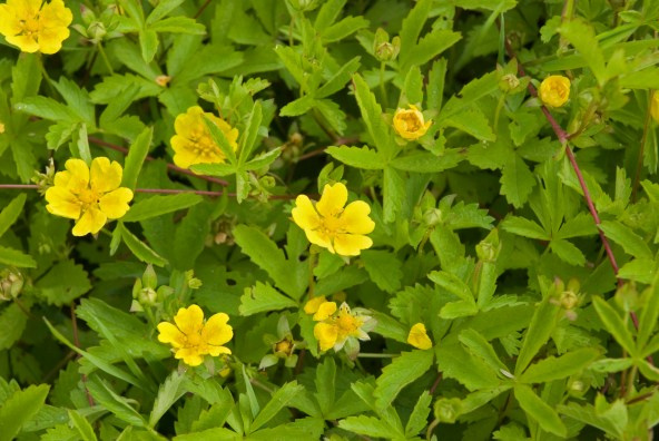 potentilla_reptans_beauvais-carriere-bracheux_60_20062008_1
