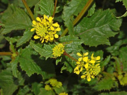 Brassicaceae - Sinapsis arvensis