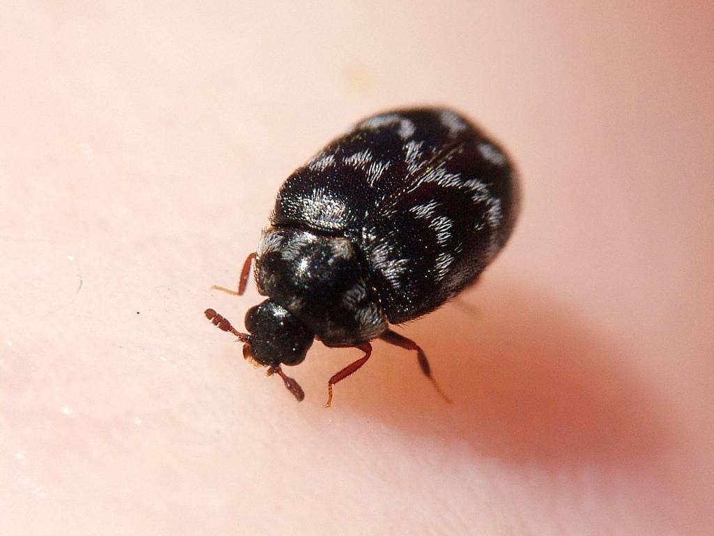 carpet-beetle-1