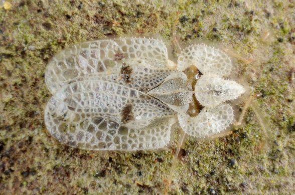 lace bug 2