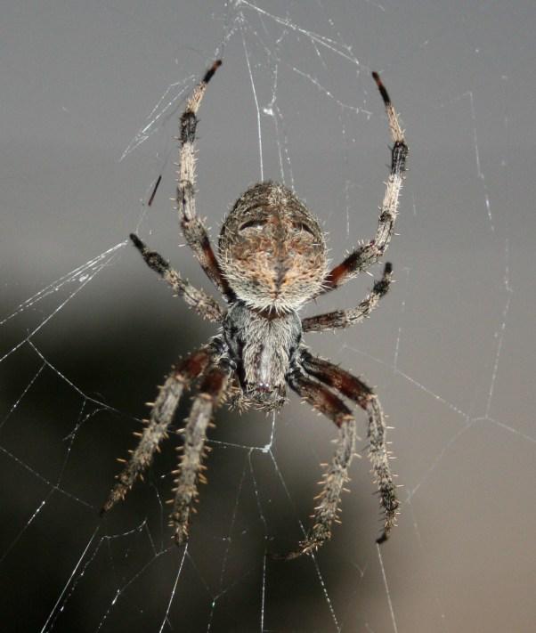 Orb_Weaver_Spider