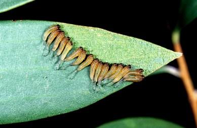 Sawfly_larvae