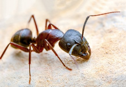 red ant close-up