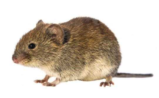 Bank vole (Myodes glareolus; formerly Clethrionomys glareolus). Small vole with red-brown fur