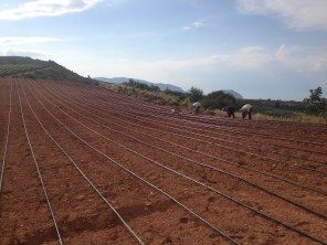 Just finished the cultivation at Throfari (8/6/2014)