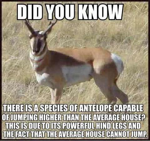 Antilope, funny picture