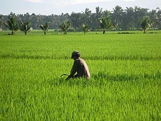 Danilo works in his rice farm. Photo by John Cavanagh.