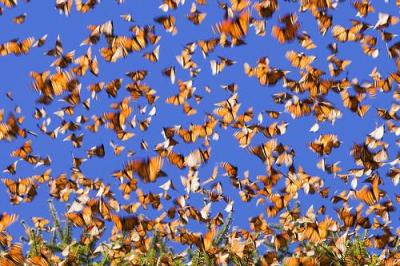 Monarchs in motion; photo via flickr by farflungphotos