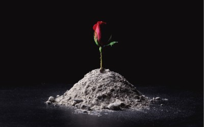 rose rising from ashes - letter to the next president