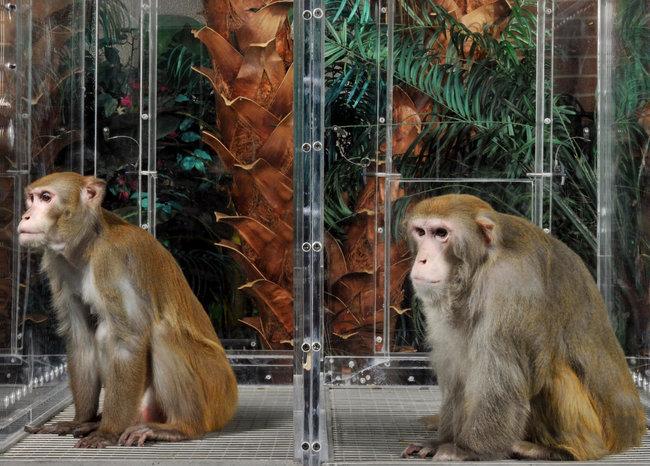 Caloric Restriction in monkeys