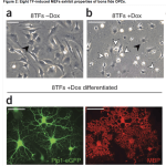 Transdifferentiation makes a major advance: direct reprogramming of fibroblasts to oligodendrocyte progenitors