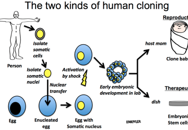 Knoepfler Diagram Human Cloning Infographic