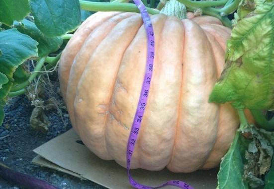 Knoepfler giant pumpkin