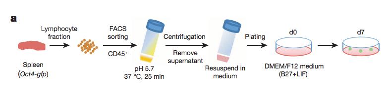 Obokata FIg. 1, STAP cells production process.