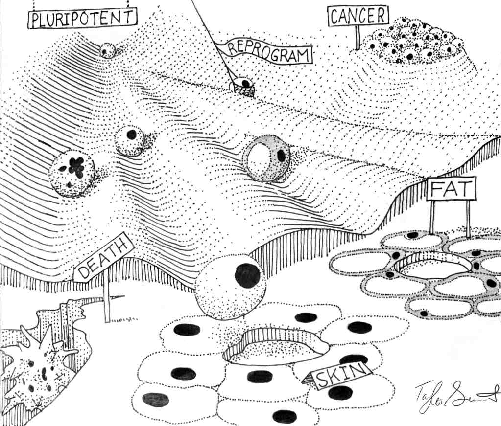 Waddington Lanscape Knoepfler