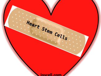 heart stem cell
