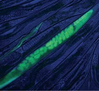CRISPR worm