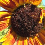 Praying mantis hunting bees; giant spider catches one on sunflower