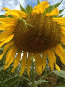 mantis on sunflower in my garden