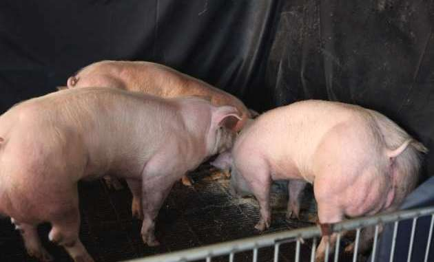 double muscled GM pigs