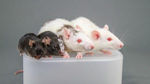 mouse-rat chimera