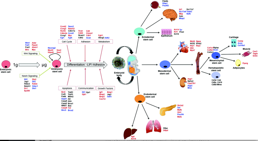 Stem-cells-space-Figure-5