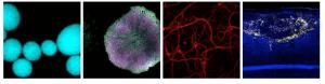 asterias-cells