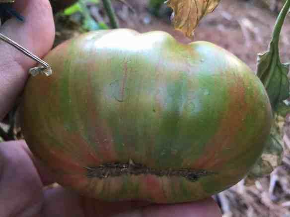 Berkeley Pink Tye Die Tomato